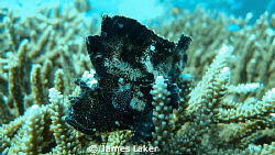 Leaf fish on coral head by James Laker