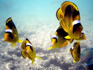 Striped butterflyfish by Yakout Hegazy