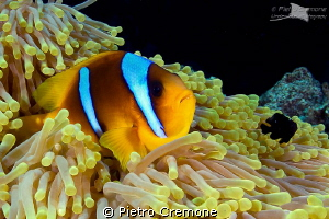 Friends..  a clownfish and a little domino damsel sharin... by Pietro Cremone