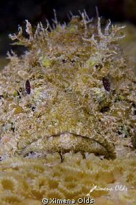 Scorpion fish portrait. 105mm by Ximena Olds