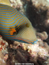 Olympus Pen1 with Magic Filter. (Undulate) triggerfish sw... by Erik Van Doesburg