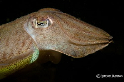 Cuttle Fish Portrait by Spencer Burrows