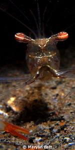Tiny Coral shrimp, night dive. by Marylin Batt