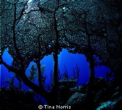 Sea Fan by Tina Norris