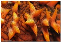 Detail of a Holothuroidea (Thelenota ananas) by Reinhard Arndt