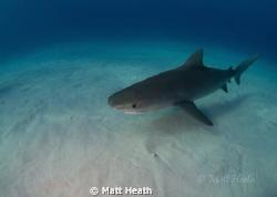 Tiger Shark by Matt Heath
