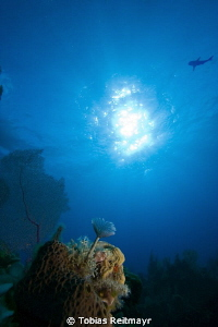 Feather Duster in the morning at Danger Reef with shark s... by Tobias Reitmayr