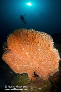 Giant Gorgonian Sea Fan-Weda Bay -Halmahera by Richard Goluch