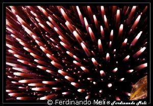 Pattern of Sea urchin by Ferdinando Meli