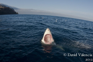 A Great White mouthing at the surface. by David Valencia