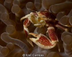 Porcelain Crab filtering away. by Kiel Carreau