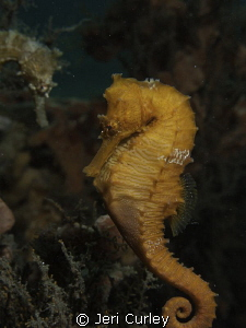 Seahorse swimming over to visit his friend. by Jeri Curley