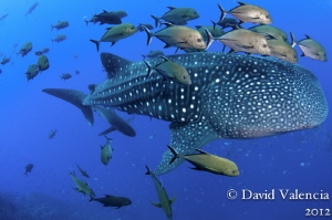 We spent a lot of time with this whale shark....we watche... by David Valencia