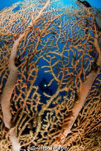 A diver behind a sea fan by Gleb Tolstov