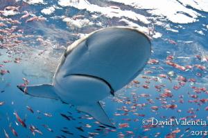 During a feeding frenzy in a baitball this silky shark fo... by David Valencia