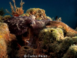 """Eye"" cephalopod mollusc  Like a Painting by Carlos Pérez"