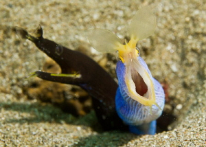 Father and Son: Male Ribbon Eel with Juvenile, 1/160, F11... by Tony Cherbas