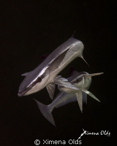 Mating remoras. by Ximena Olds