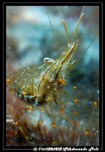 Shrimp by Ferdinando Meli