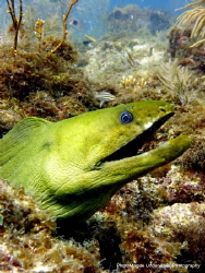 Green Moray Eel taken off of Islamorada by Ryan Magee