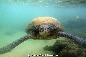 Green Turtle She came just to my head!?-Fright, why, I'm... by Hans-Gert Broeder
