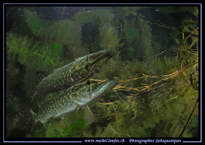Young Pike Fish Reflection... :O)... by Michel Lonfat