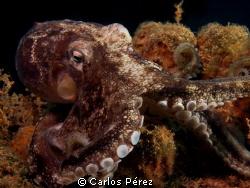 octopus vulgaris by Carlos Pérez