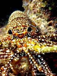 Spiny Lobster off of Islamorada by Ryan Magee