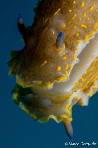 Sea Slug  Hypselodoris picta picta by Marco Gargiulo