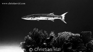 Great Barracuda hovering above a coral formation at Akuma... by Christian Vizl