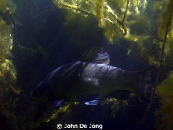Last weekend during snorkling, without strobe/light. by John De Jong