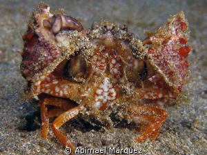 Rough Box Crab by Abimael Márquez