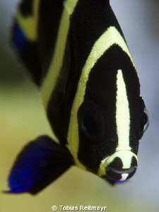 Juvenile angelfish, Blue Hole by Tobias Reitmayr