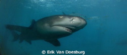Lemon shark on the prowl by Erik Van Doesburg