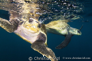 Couple of sea turtles in open Pacific Ocean. by Christian Vizl
