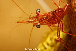 Candi shrimp by Yoav Lavi