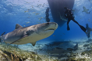 Emma the Tiger Shark starts the parade at Tiger Beach thi... by Steven Anderson