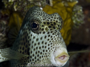 Trunkfish at Periwinkle Reef by Tobias Reitmayr