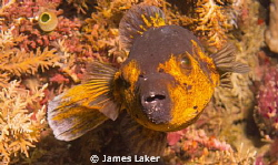 Pufferfish by James Laker