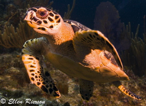 Friendly turtle on Cayman's East End. Shot with T2i/Tokin... by Ellen Rierson