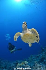 Hawksbill turtle with Diver Jackfish alley Sharm el She... by Adolfo Maciocco