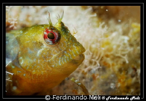Blenny's portrait by Ferdinando Meli