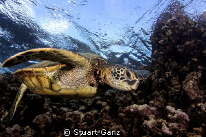 Hawaiian green sea tuttle. by Stuart Ganz