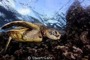 Hawaiian green sea tuttle. by Stuart Ganz