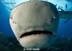 The Business End of a Tiger Shark by Matt Heath