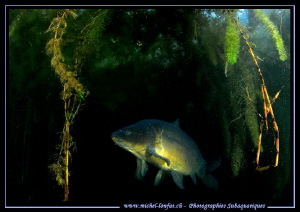 Common Carp... :O)... by Michel Lonfat