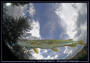 Adult Pike Fish close to the surface... :O)... by Michel Lonfat