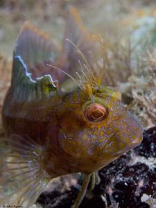 Fully exposed. Seaweed Blenny  Blue Heron Bridge FLA Lou ... by John Roach