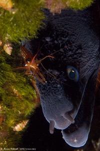 blushes........ (monaco shrimp - Lysmata seticaudata- on ... by Marco Faimali (ismar-Cnr)