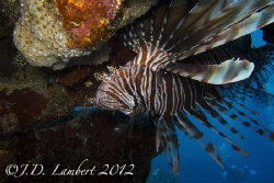 There are lots of invasive lion fish in the area where I'... by Joseph Lambert
